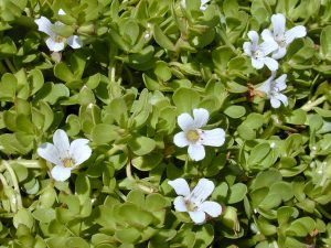 Bacopa aerial parts, including happy little flowers. Forest & Kim Starr [CC BY 3.0], via Wikimedia Commons