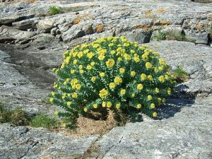 Don't be fooled by Thrivous: Rhodiola ROSEA is the form you want for nootropic benefits. By Finn Rindahl (Own work) [CC BY-SA 3.0], via Wikimedia Commons