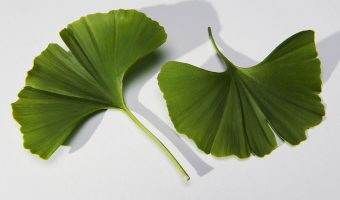 Ginkgo Biloba Review: Ancient Memory Herb, Not Just for Old-Timers Anymore
