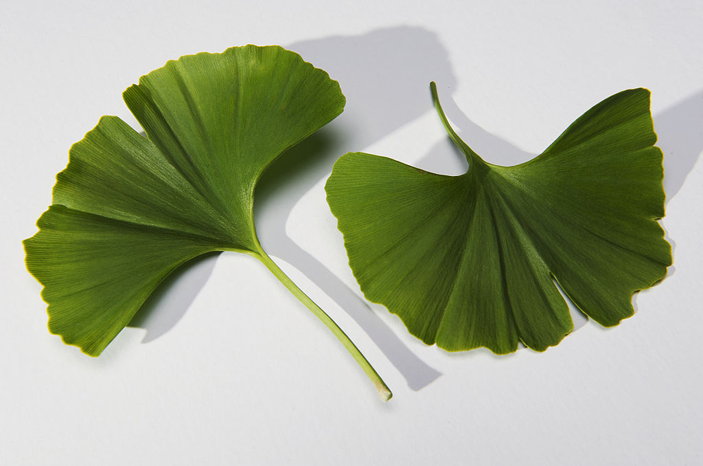 The Ginkgo biloba tree leaves are easily recognizable, and often associated with brain health. By THOR (originally posted to Flickr as Gingko Leaf) [CC BY 2.0], via Wikimedia Commons