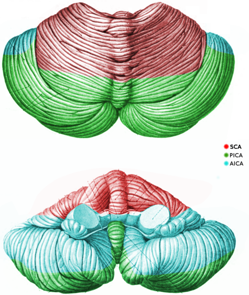 Image of cerebellar blood flow, illustrating Superior cerebellar artery (SCA), Posterior inferior cerebellar artery (PICA), Anterior inferior cerebellar artery (AICA). By CFCF [CC BY-SA 3.0], via Wikimedia Commons