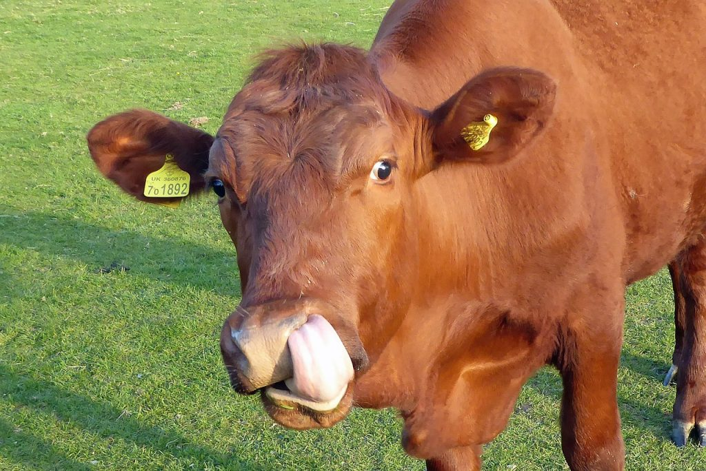 Lactose is the reason cows are so smart.