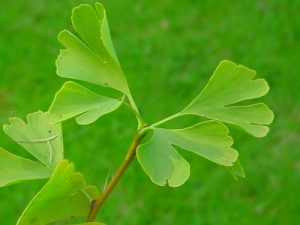 Green Ginkgo. By The original uploader was Reinhard Kraasch at German Wikipedia (Transferred from de.wikipedia to Commons by Hanno.) [GFDL or CC-BY-SA-3.0], via Wikimedia Commons