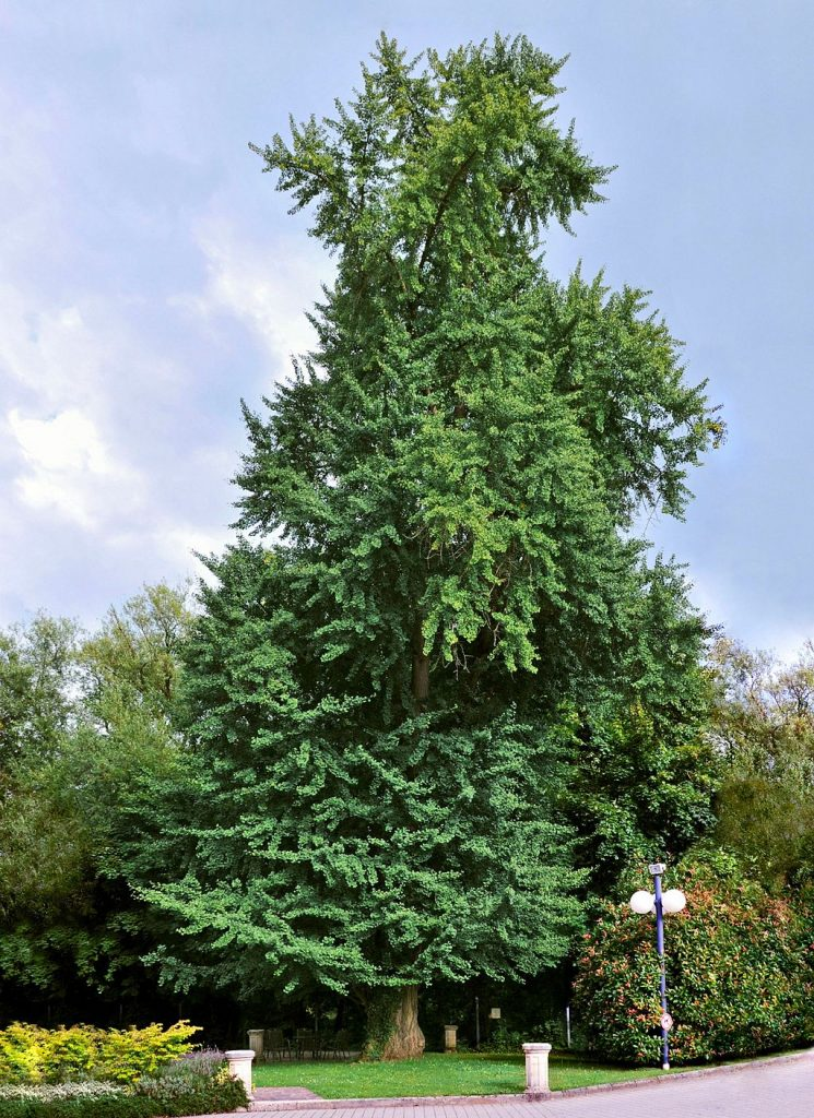 Ginkgo biloba, also called the Maidenhair Tree, is so majestic I just gotta include an image. They can grow up to 80 fee tall. By EecherplazGinkgo06.jpg: Cayambederivative work: Ginkgotree (EecherplazGinkgo06.jpg) [CC BY-SA 3.0 or GFDL], via Wikimedia Commons