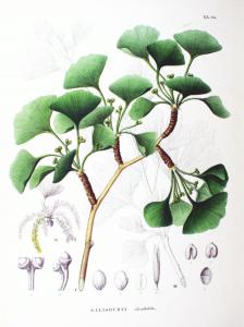 By Philipp Franz von Siebold and Joseph Gerhard Zuccarini (Flora Japonica, Sectio Prima (Tafelband).) [Public domain], via Wikimedia Commons