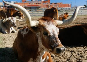 Believe it or not, Taurine is not sourced from bull testes.