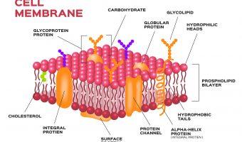 Cell membrane , pink membrane vector
