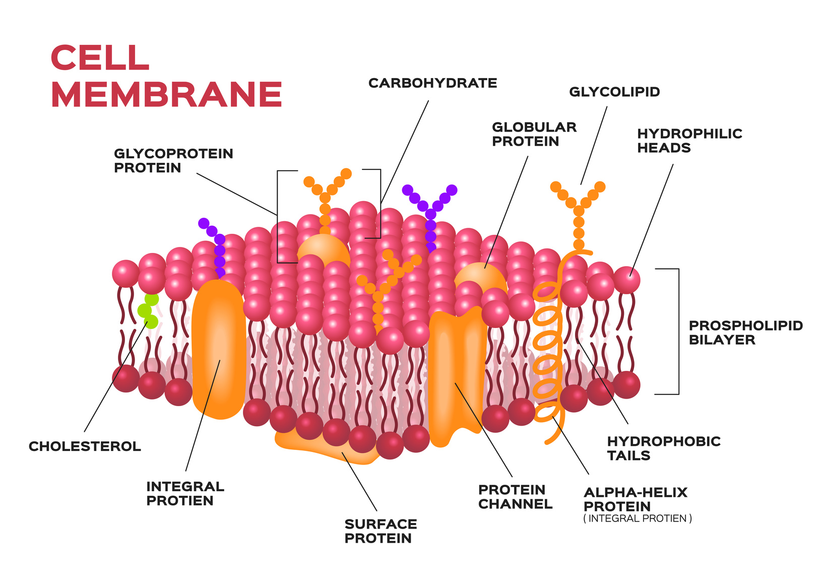 cell membrane diagram cell structure and function ppt