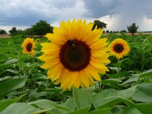Sunflower, the current PS go-to. By 3268zauber (Own work) [CC BY-SA 3.0], via Wikimedia Commons