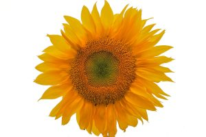 Sunflower-derived PS is the cool new thing. By Jeffreyrea (Jeffrey Rea) [CC BY 3.0], via Wikimedia Commons