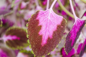 CILTEP destroys beautiful coleus leaves for improved cognitive function, memory formation, & retention of new info... Worth it.