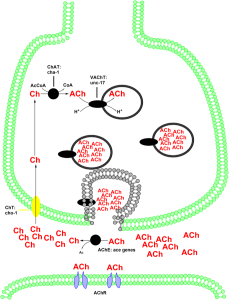 Cholinergic enzymes & transporters. By CarboJoule (Own work) [CC BY-SA 3.0], via Wikimedia Commons