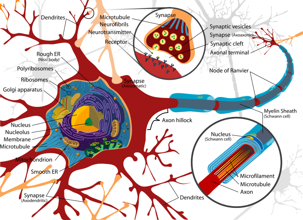 Check out this neuron just, like... being a neuron. By LadyofHats [Public domain], via Wikimedia Commons