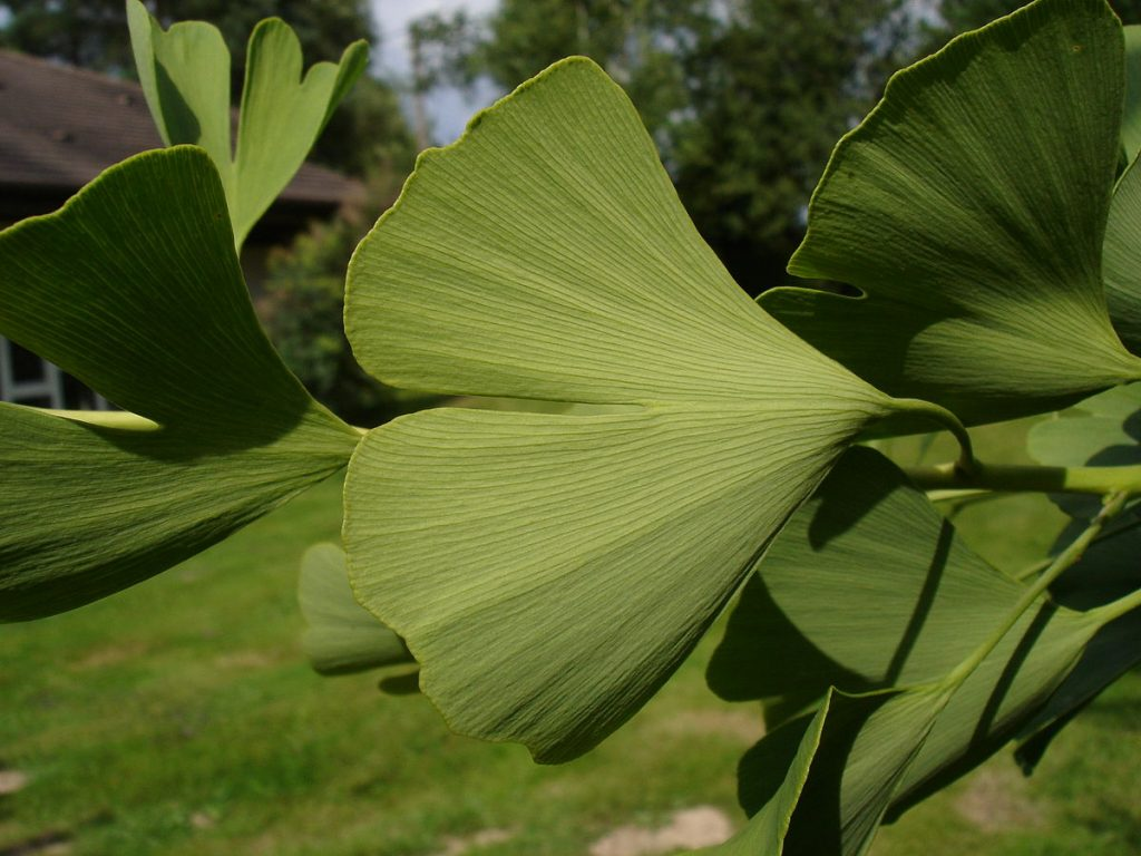 Ginkgo, up close & personal. By Jl staub (Own work) [GFDL or CC BY-SA 3.0], via Wikimedia Commons