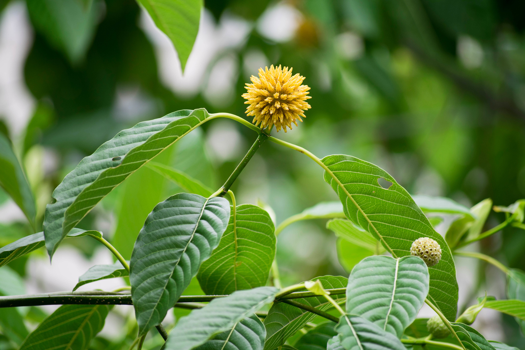 Find Gas Station >> Kratom Review: Controversial Plant Analgesic for Energy ...