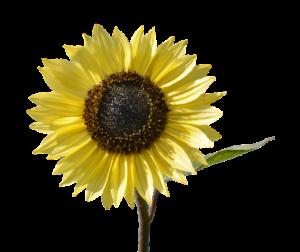 Sunflower-derived PS