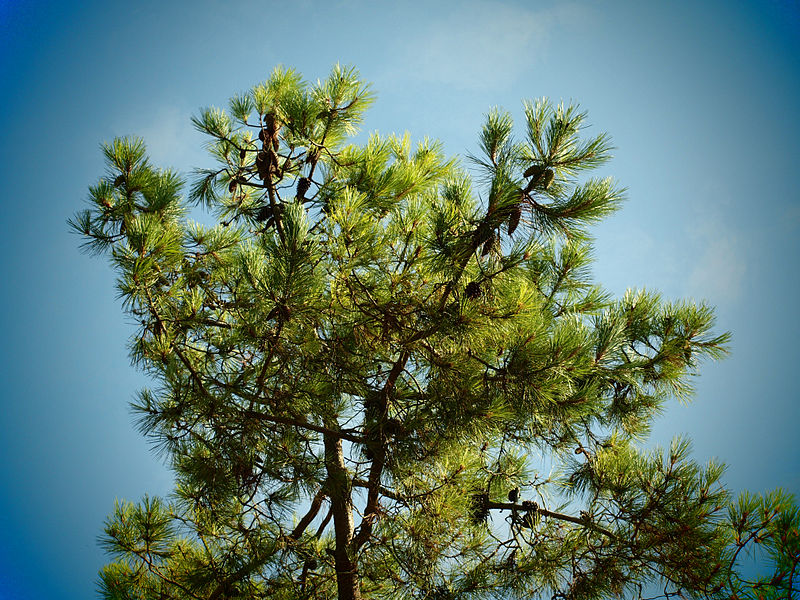 maritime pine blue sky
